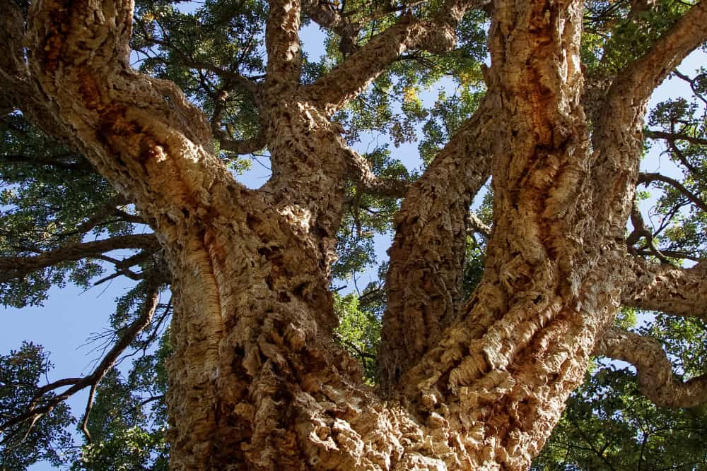 Cork is obtained from the barc of a tree called cork oak tree